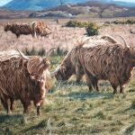hebridean cows